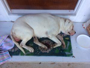 A weary looking American Staffy, Rosie, lies on a doorstep